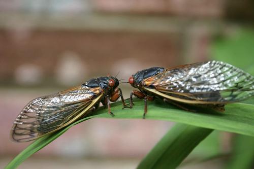 Two cicadas on a leaf